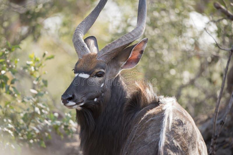 Stående av en lös manlig Nyala & x28; Tragelaphusangasii& x29; Antilop royaltyfri fotografi
