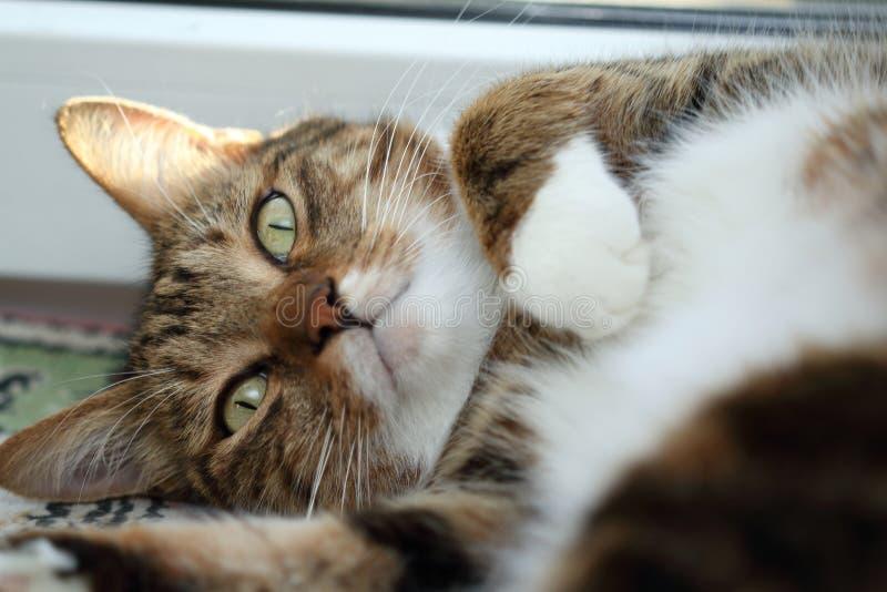 Stående av en lat makrillstrimmig kattkatt på morgonen arkivfoto