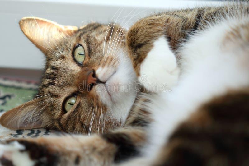 Stående av en lat makrillstrimmig kattkatt på morgonen royaltyfri foto