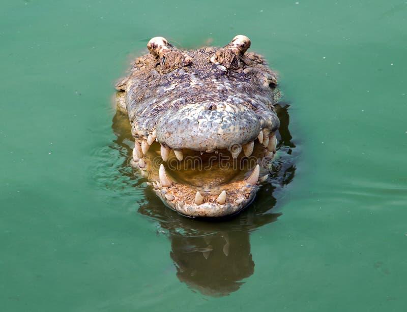 Stående av en le krokodil royaltyfri foto