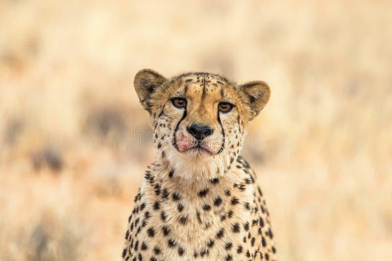 Stående av en ledsen gepard arkivfoto