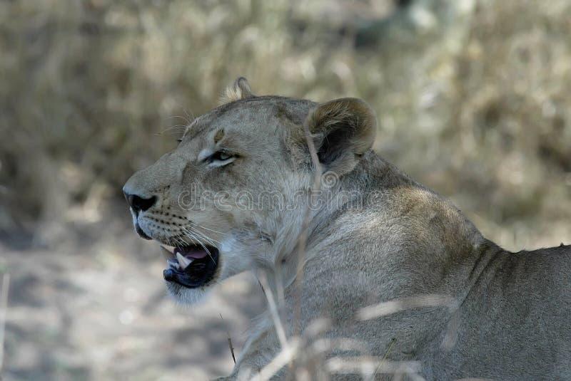Stående av en lejoninna, Gorongosa nationalpark, Mocambique royaltyfri bild