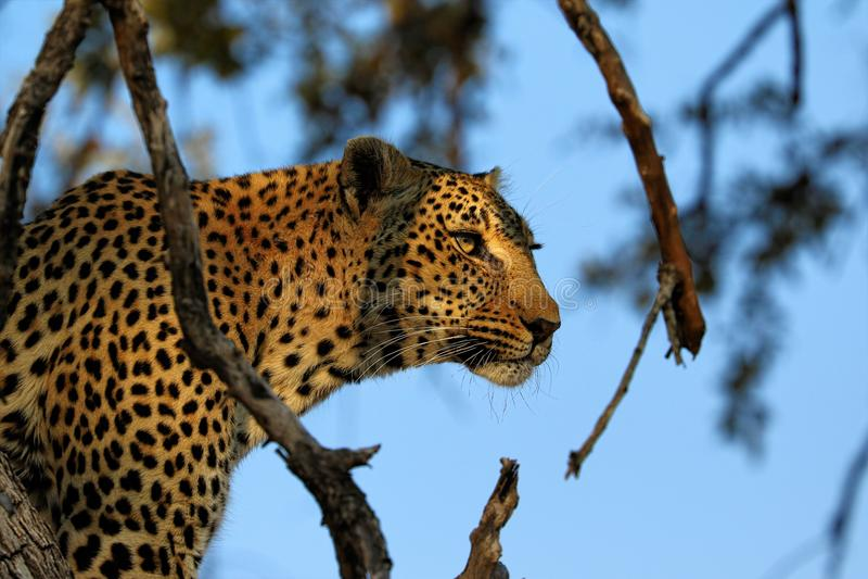 Stående av en leopardPantherapardus, Kruger nationalpark, Sydafrika arkivfoton