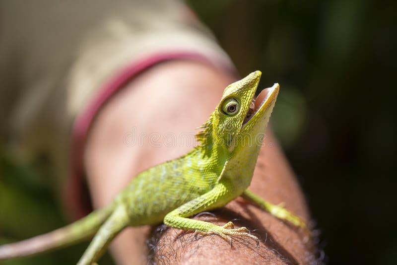 Stående av en liten grön leguan på en manhand på en tropisk ö av Bali, Indonesien Closeup makro arkivfoto