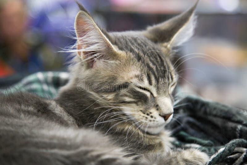 Stående av en Maine Coon katt i ett latent tillstånd Selektivt fokusera arkivbild