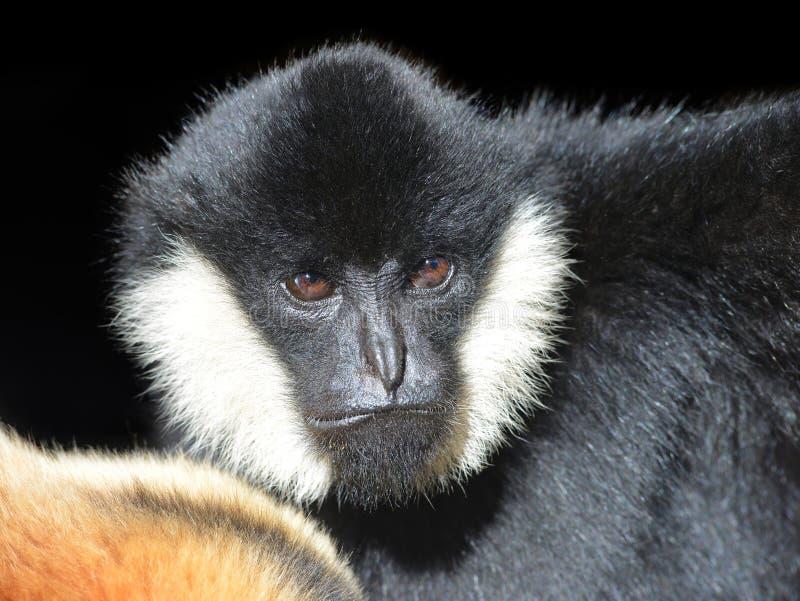 Stående av en manlig vit var fräck mot Gibbon arkivfoton