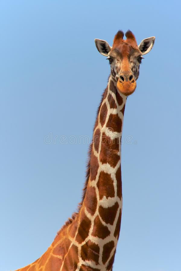 Stående av en masaigirafe royaltyfri foto