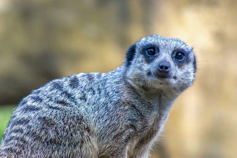 Stående av en meerkat som ser nyfiken arkivfoton