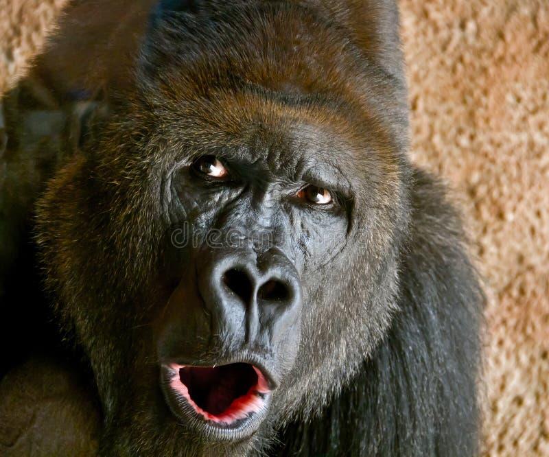 Stående av en närbild av den manliga gorillan i zoo, den farligaste och största apan royaltyfria bilder
