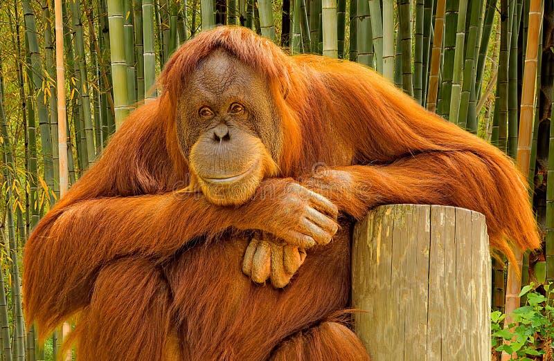 Stående av en orangutang royaltyfri bild