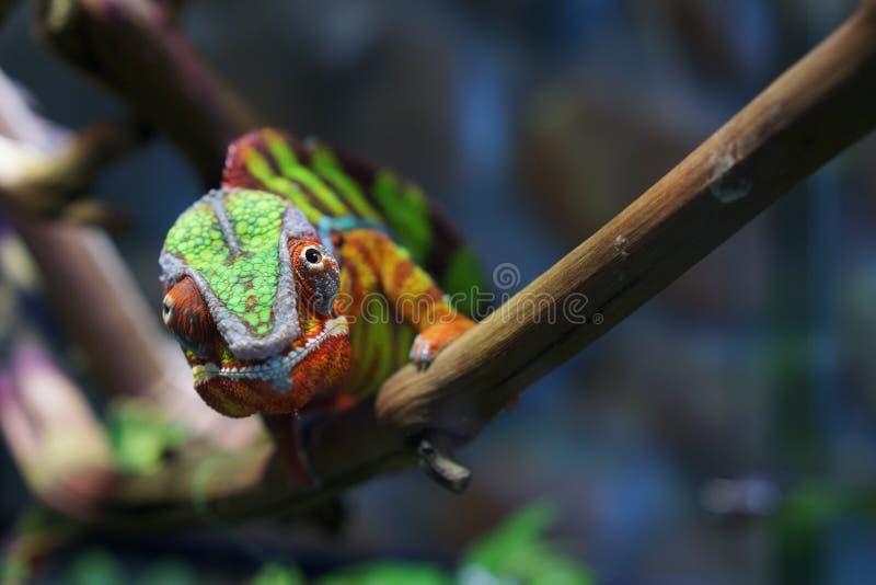 Stående av en panterkameleont av härlig färg fotografering för bildbyråer