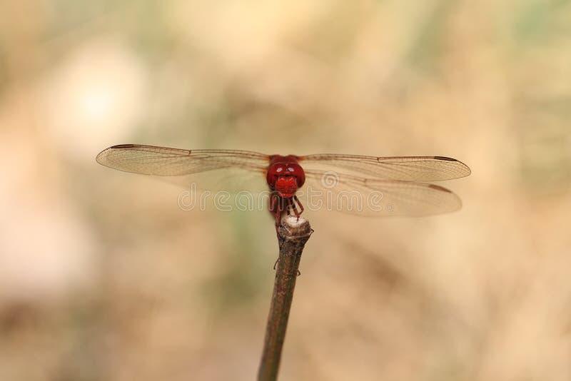 Stående av en röd slända royaltyfri foto