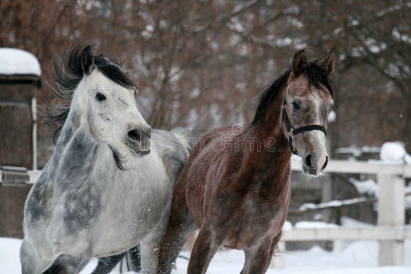 Stående av en rinnande arabisk häst i vinter arkivbilder