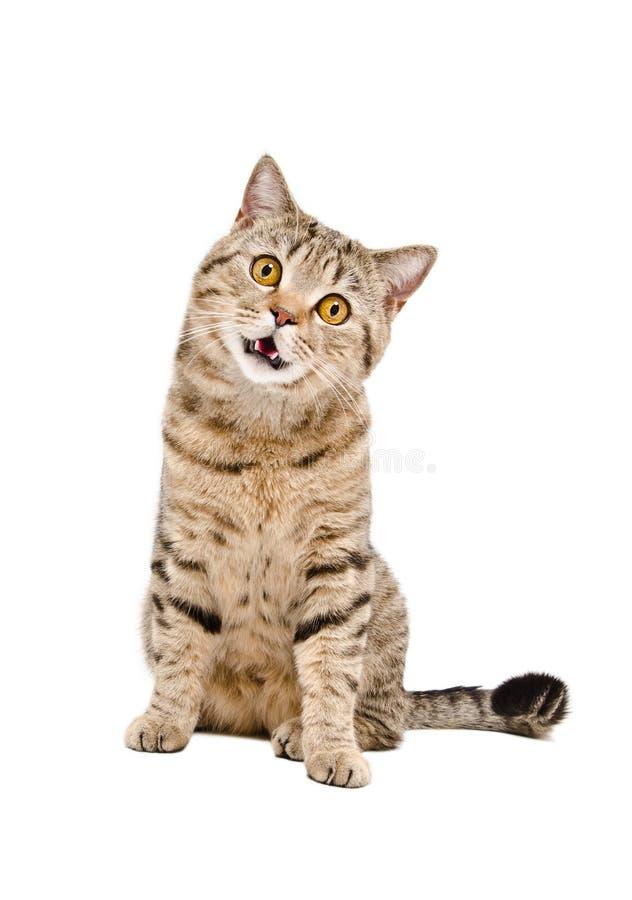 Stående av en rolig kattskotteraksträcka royaltyfria foton