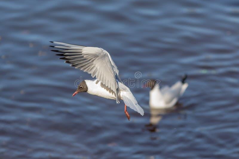 Stående av en seagull i flykten arkivbild