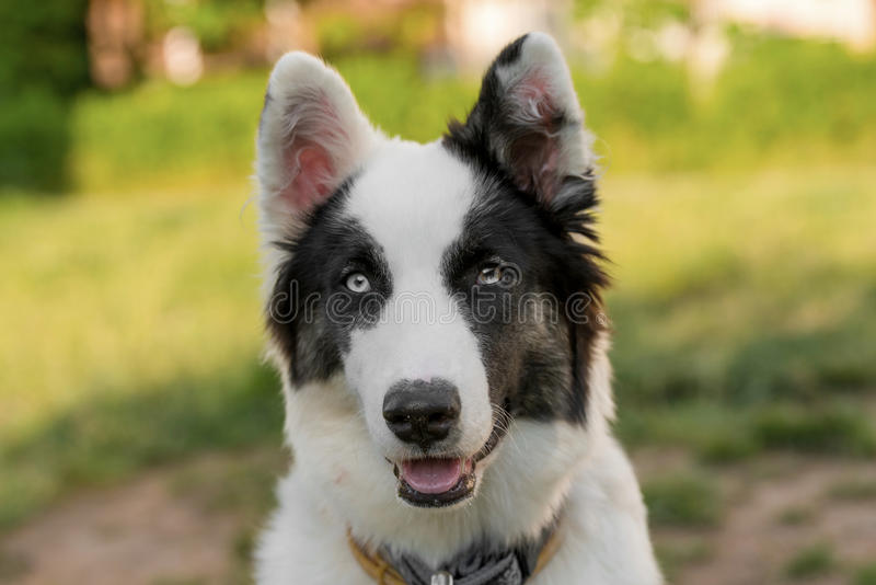 Stående av en selektiv fokus för ung yakutian laika på hunden arkivfoton