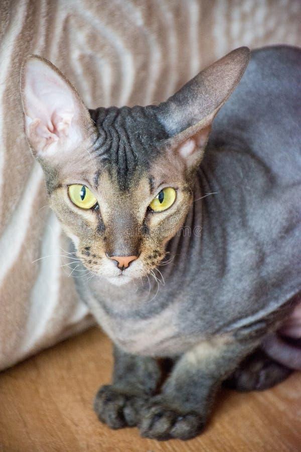 Stående av en skallig katt för härlig fullblod med gräsplan och yel arkivfoto