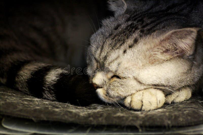 Stående av en sova katt royaltyfria bilder
