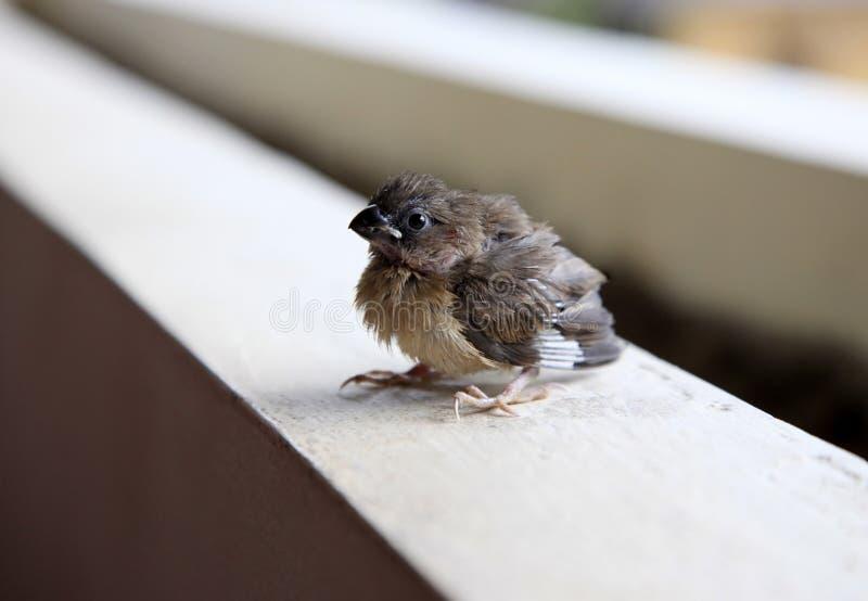 Stående av en sparrow arkivbild