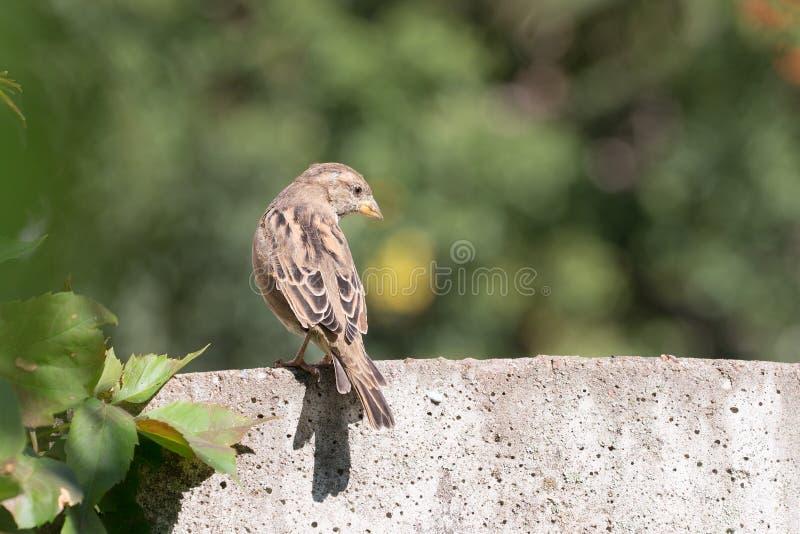 Download Stående av en sparrow arkivfoto. Bild av fjäder, djurliv - 76703602