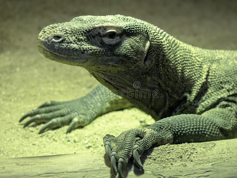 Stående av en stor Komodo drake, Varanuskomodoensis royaltyfria foton
