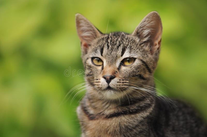 Stående av en strimmig kattkattunge royaltyfri foto