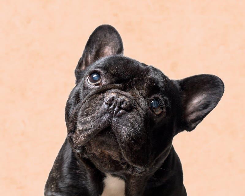 St?ende av en svart fransk bulldogg p? orange bakgrund royaltyfria foton