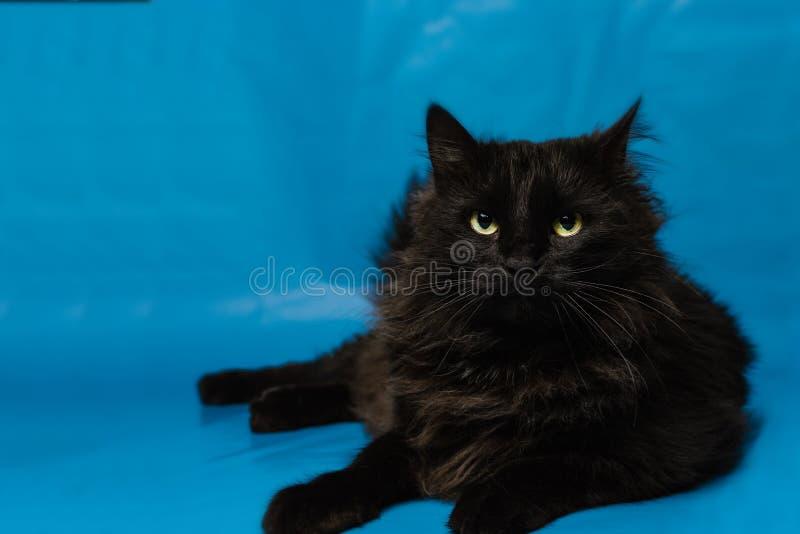 Stående av en svart katt med en blå bakgrund arkivfoton