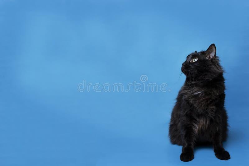 Stående av en svart katt med en blå bakgrund fotografering för bildbyråer