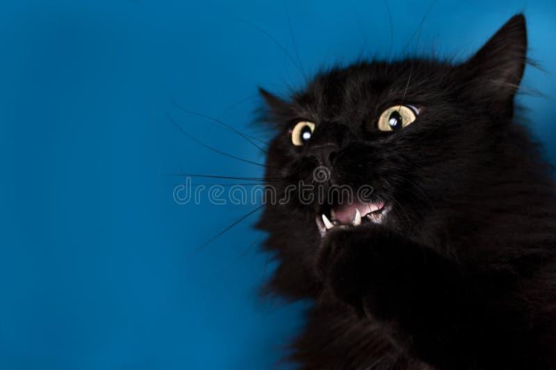 Stående av en svart katt med en blå bakgrund arkivbild