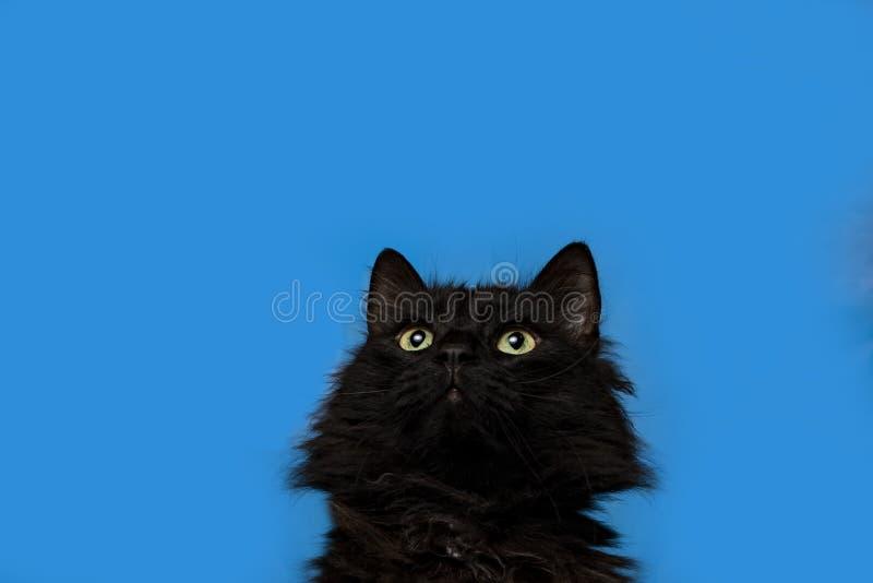 Stående av en svart katt med en blå bakgrund royaltyfri foto