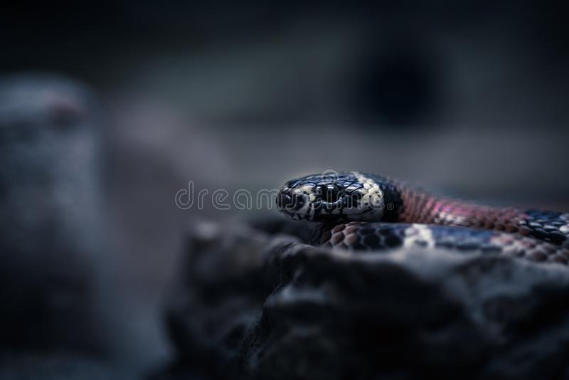 Stående av en svart orm på en svart bakgrund arkivfoton