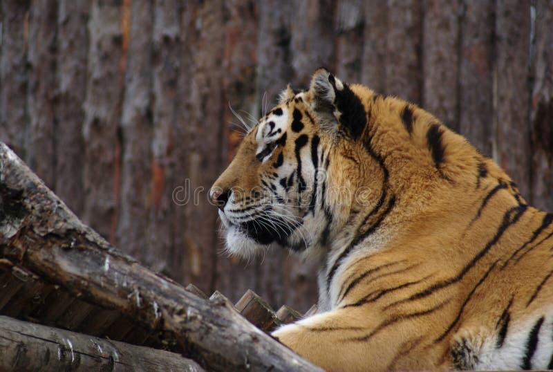 Stående av en tiger i fångenskap fotografering för bildbyråer