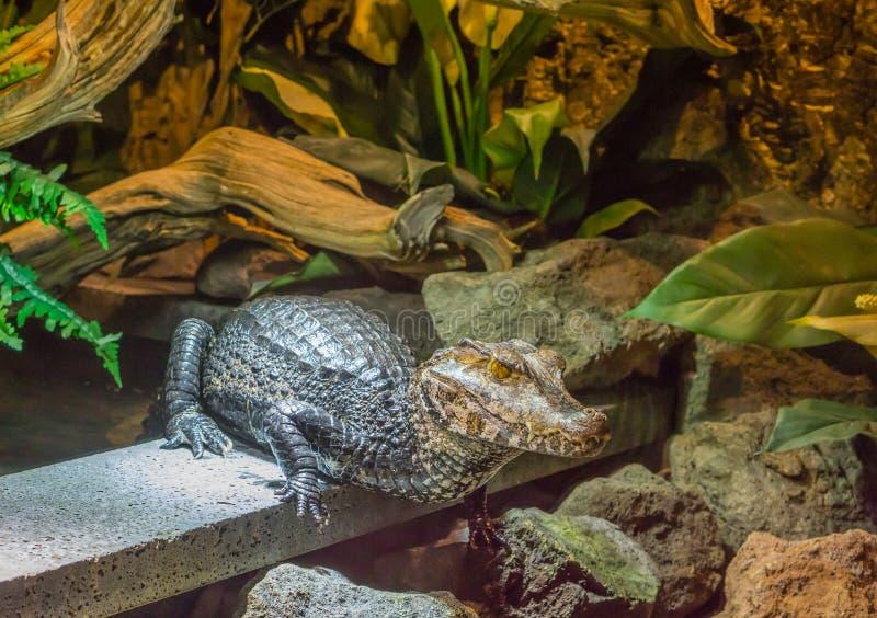 Stående av en ung dvärg- kajmanalligator, tropisk krokodil från Amerika royaltyfria bilder