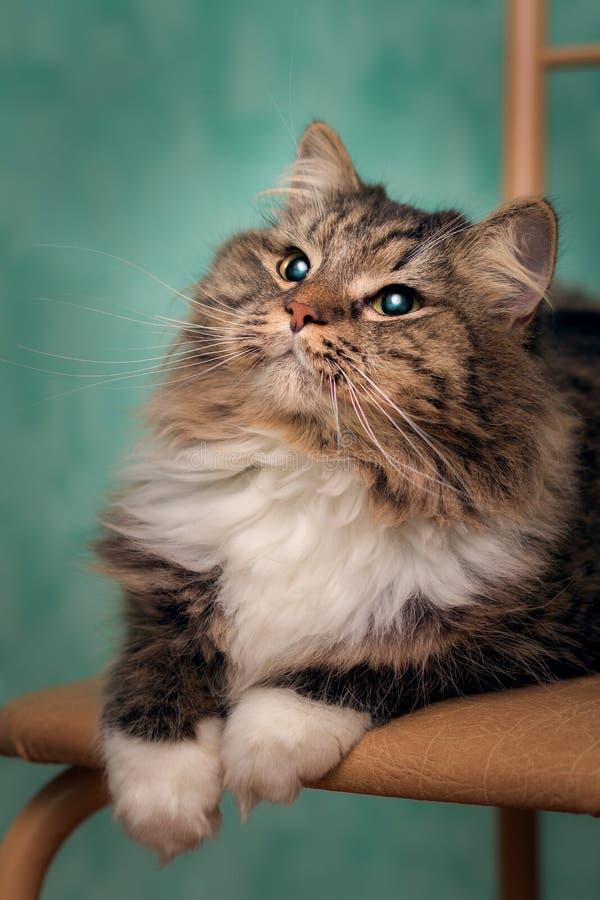 Stående av en ung fluffig katt med en lyxig mustasch i vita sockor arkivbilder