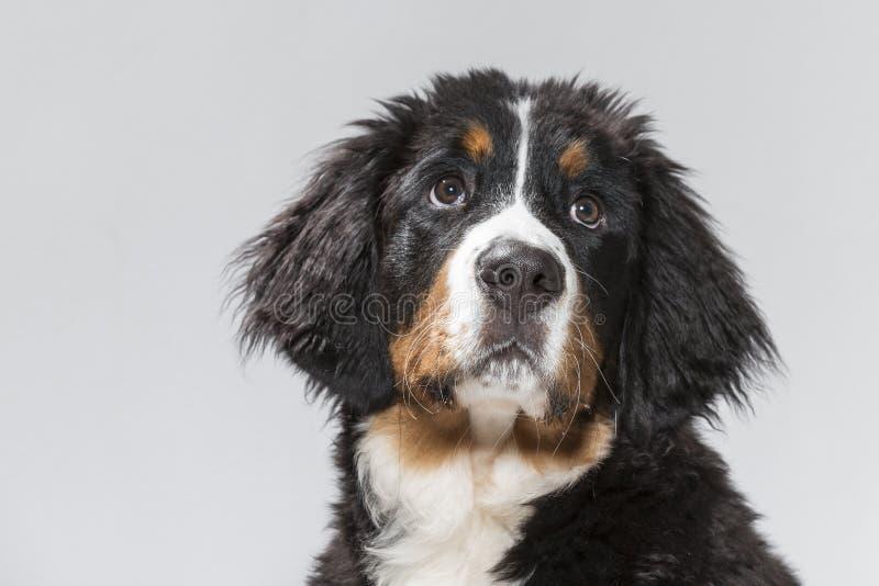 Stående av en ung hund för bernese berg fotografering för bildbyråer