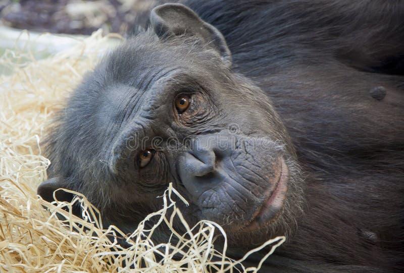 Stående av en ung schimpans royaltyfria foton