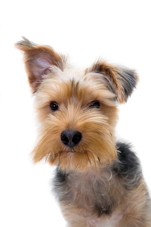 St?ende av en ung Yorkshire Terrier hund fotografering för bildbyråer