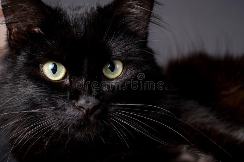 Stående av en ursnygg fluffig svart katt med ljusa gula ögon royaltyfri fotografi