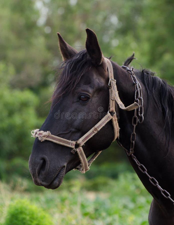 Stående av en ursnygg svart häst mot grönt fält royaltyfria bilder
