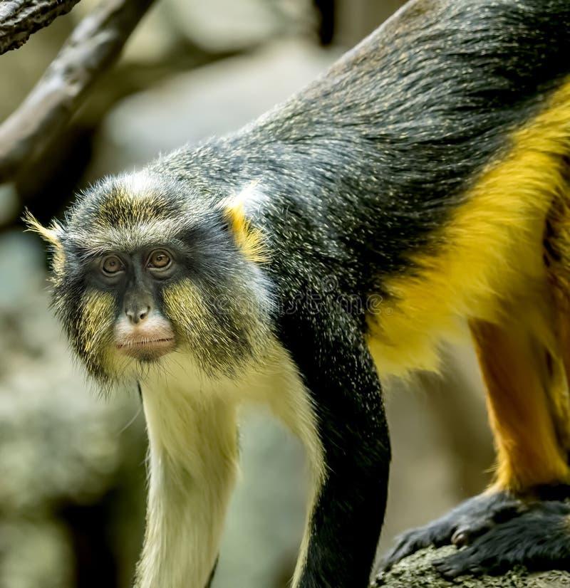 Stående av en vargs apa arkivfoton