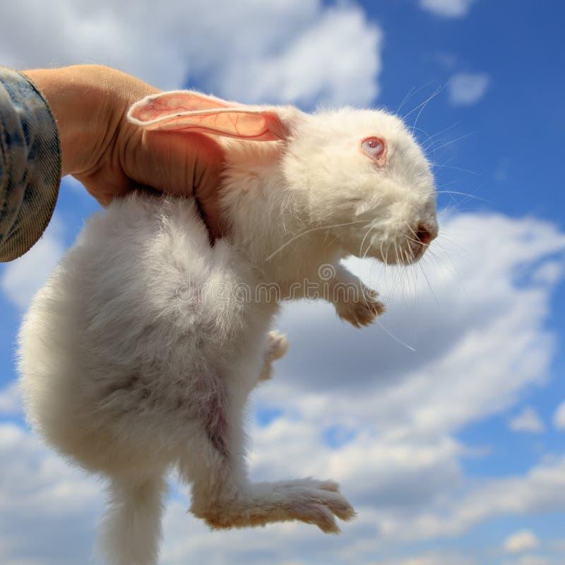 Stående av en vit kanin på händerna royaltyfri foto