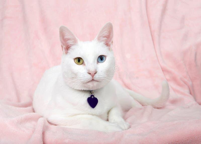 Stående av en vit kattunge med heterochromia royaltyfri bild