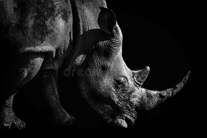 Stående av en vit noshörning i monokrom royaltyfri foto