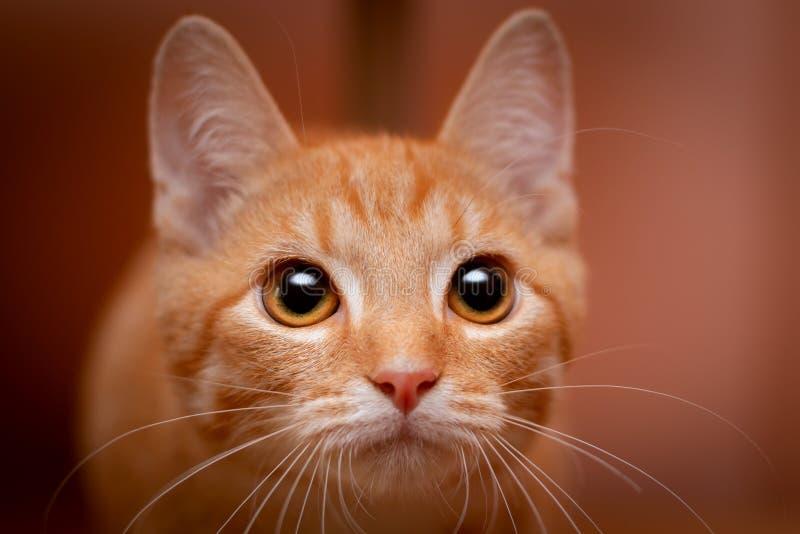 Stående av enröd strimmig kattkattunge arkivbild