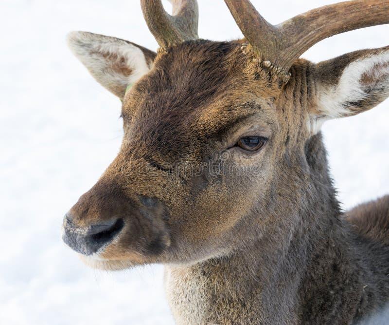 Stående av entailed hjort i vinter mot bakgrunden av vit snö royaltyfria bilder