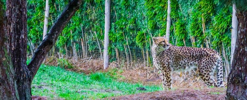 Stående av ett gepardanseende i gräset, hotad kattspecie från Afrika arkivbilder