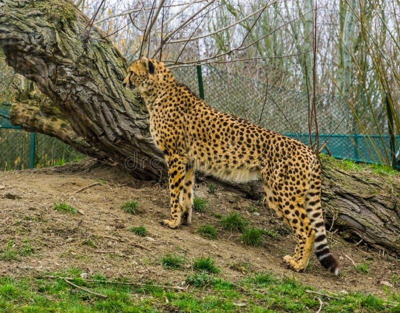 Stående av ett gepardanseende på en gräskulle, sårbar djur specie från Afrika arkivbilder