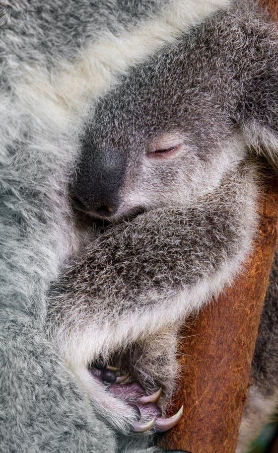 Stående av ett känguruunge som krullas upp i vrån av dess arm för moder` s arkivfoton