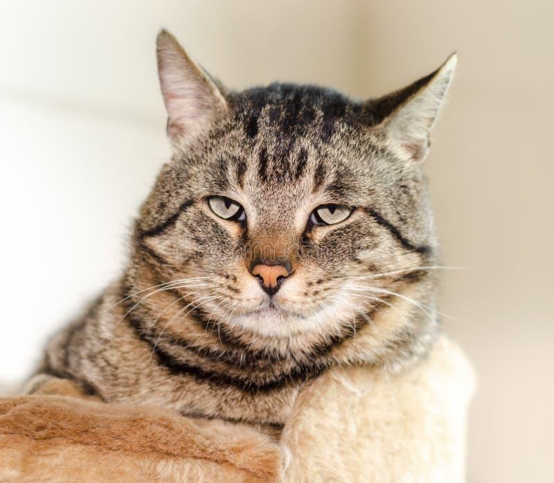 Stående av ett lat grått kattslut upp arkivbild
